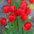 Beautiful red tulips in city park — Stock Photo