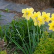 Beautiful narcissus in the park — Stok fotoğraf