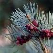 Young spruce with cones — Stock Photo