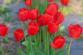 Beautiful red tulips in city park — Foto Stock