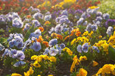 Beautiful pansies in a city garden — Stock Photo