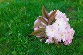Background of spring green grass and flower sakura — Stock Photo