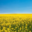 Field of yellow rape against the blue sky - Stock Photo