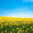 Field of yellow rape against the blue sky — Stock Photo