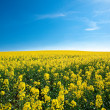 Field of yellow rape against the blue sky — Stock Photo #6159855