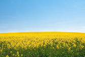 Field of yellow rape against the blue sky — Stock fotografie