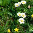 Camomile  against the background of green grass — Stock Photo