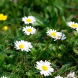 Camomile against the background of green grass — Stock Photo #6160161