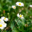 Camomile against the background of green grass — Stock Photo #6160168