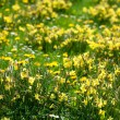 Snowdrops and dandelions on the background of green grass — Stock Photo