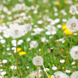 Dandelions against the background of green grass — Stock Photo