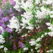 Bushes of a blooming spring lilac — Stock Photo