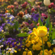 Beautiful tulips and pansies in the park — Foto Stock