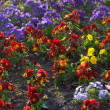 Beautiful pansies in a city garden - Stock Photo