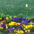 Beautiful tulips and pansies in the park - Foto de Stock