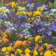 Beautiful pansies in a city garden — 图库照片