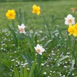 Beautiful narcissus in the park — Stock Photo