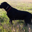 Big black dog in the green field — Stock Photo