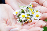 Camomile in the hands of women — Stock Photo