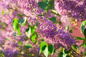 Cespugli di una fioritura primaverile lilla — Foto Stock
