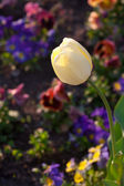 Beautiful tulips and pansies in the park — Stock Photo