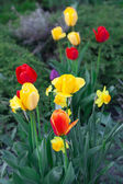 Beautiful tulips in city park — Stock Photo
