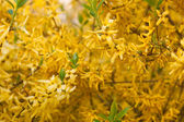 Yellow spring flowers on a tree branch — Stock Photo