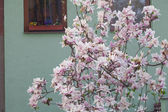 Flowering magnolia in the background of the house — Stock Photo
