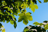 Maple leaves against the blue sky — Stock Photo
