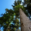 Crown of pine against the blue sky — Stock Photo