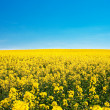 Field of yellow rape against the blue sky — Stock Photo #6183040