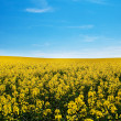 Field of yellow rape against the blue sky — Stock Photo #6183064