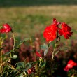 Red roses on a background of green grass — Stock Photo