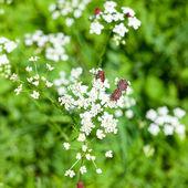 Besouros com flores brancas em um fundo de grama — Fotografia Stock