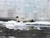 Seal on ice floes — 图库照片