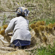 Woman working on collecting rice — Stock Photo #6052476