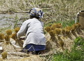 Woman working on collecting rice — Stock Photo