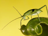 The grasshopper stands on leaf — Photo