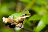 Tree frog on the leaf (Hyla chinensis) — Stock Photo