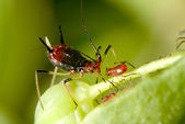 Aphid with nice background color — Foto de Stock