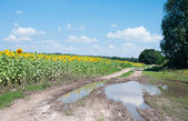 Countryside landscape with sunflowers and big puddle — Stock Photo