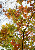Bright autumn oak leaves — 图库照片