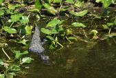 Alligator — Stock Photo