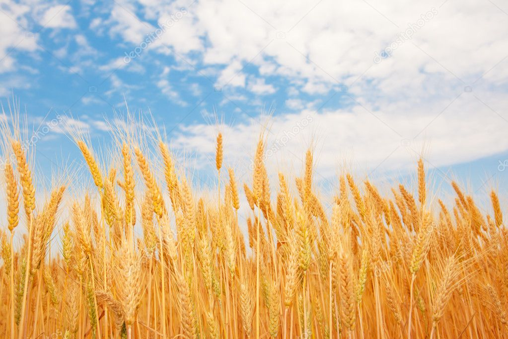 Golden wheat ears under the blue sky — Stock Photo #5760327
