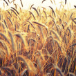 Spikelets of wheat, illuminated by bright sunshine. Wheat field - Stockfoto