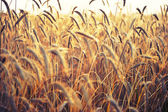 Spikelets of wheat, illuminated by bright sunshine. Wheat field — Stock Photo