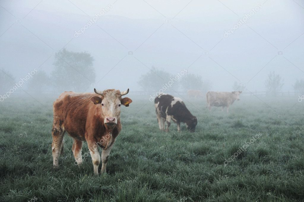 Cows on green meadow  Stock Photo #5827747