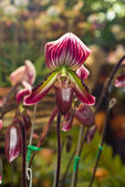 Purple orchid, Paphiopedilum barbatum — Stock Photo