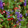 Wild flower plant, Purple and red flower — Stock Photo