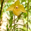 Rare orchid in Thailand, Paphiopedilum — Stock Photo